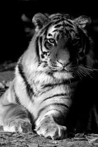 Tiger Repose