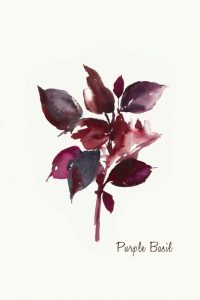 Purple Basil – Mini