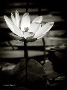 Lotus Flower VIII
