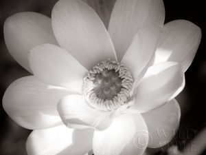 Lotus Flower V