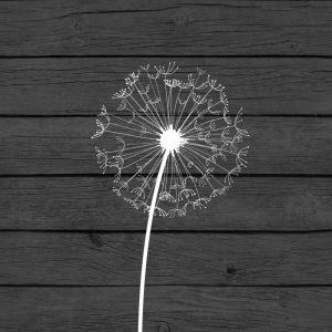 Grey Dandelion I