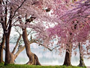 A row of cherry trees bloom at sunrise on the edge of the tidal basin. Washington- USA
