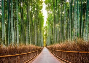 Bamboo Forest- Kyoto- Japan