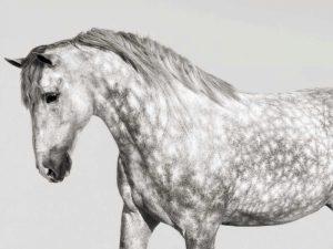 Leia- Andalusian Pony