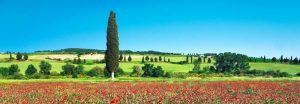 Cypress in poppy field, Tuscany, Italy