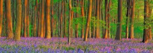 Beech forest with bluebells, Hampshire, England