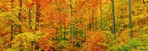 Beech forest in autumn, Kassel, Germany