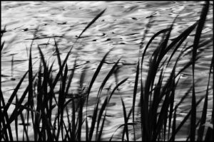 Reeds and Water in Motion