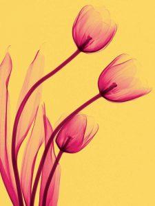 Tulips Trio – A