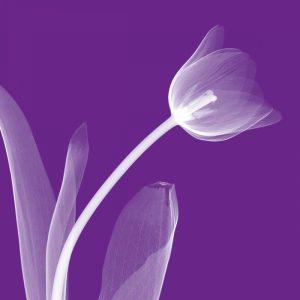 Tulip-White