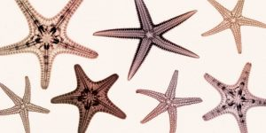 Starfish Collection (sepia)