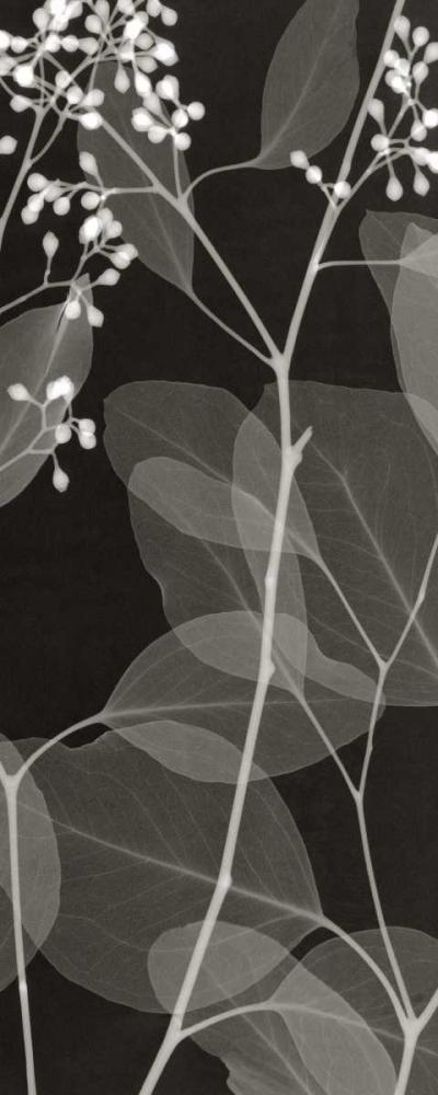 Eucalyptus IV
