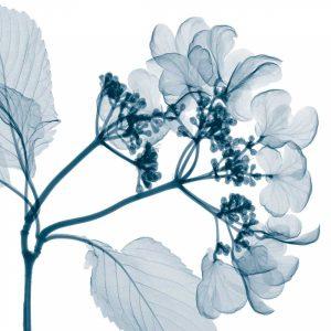 Hydrangeas [Positive] – A