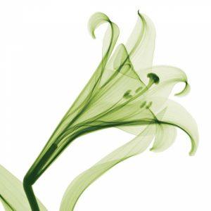 Lilies [Positive] – A