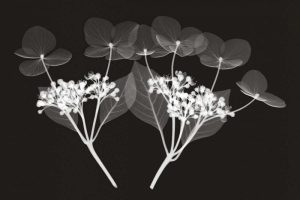 Genus Hydrangea