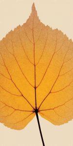 Leaves – C