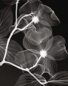 Dogwood Blossoms Negative