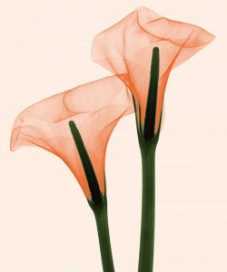 Two Callas Positive I