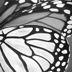Black and White Monarch
