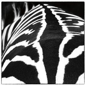 Zebra V