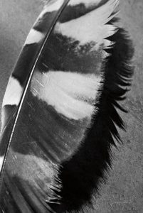 Feather Shadow I