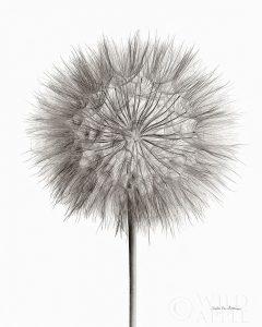 Dandelion Fluff on White
