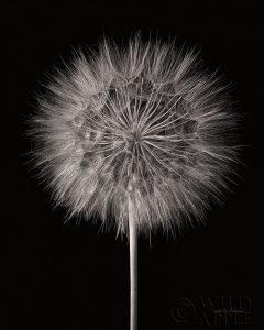 Dandelion Fluff on Black