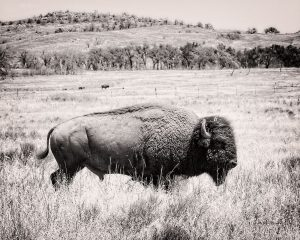 Buffalo I BW