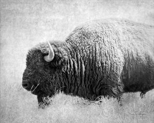 Buffalo II BW