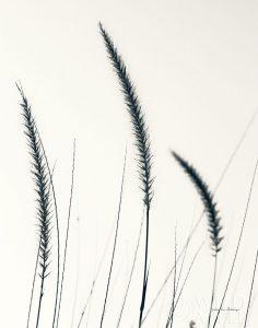 Field Grasses IV BW Crop