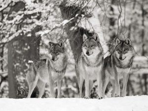 Wolves in the snow, Germany (BW)