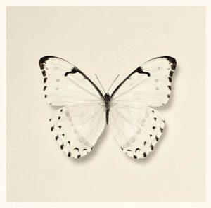 Butterfly II BW Crop