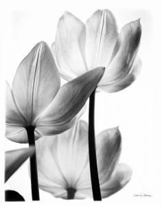 Translucent Tulips III no border