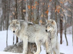 Three grey wolves huddle together during a Quebec snowstorm