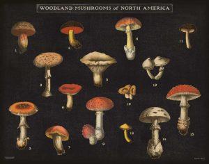 Mushroom Chart I