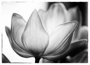 Translucent Tulips VI