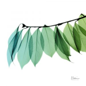 Camelia Leaf