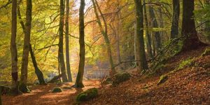 Autumn beech woods Birks o Aberfeldy