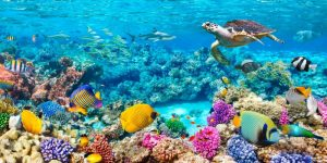 Sea Turtle and fish- Maldivian Coral Reef