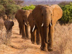 Herd of African Elephants- Kenya