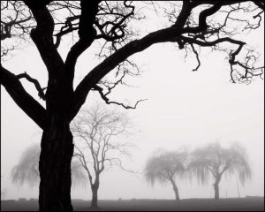 Tree and Willows in Fog