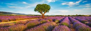 Lavender field and almond tree, Provence, France