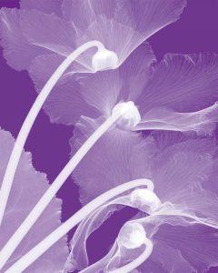 Cyclamen-White
