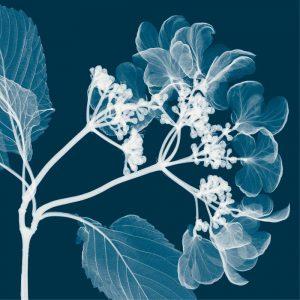 Hydrangeas [Negative] – A