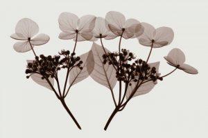 Hydrangea Stem Trio – B
