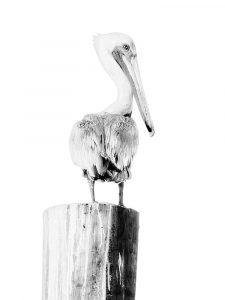 BW Pelican