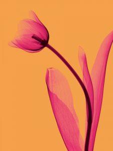 Tulips Trio – C