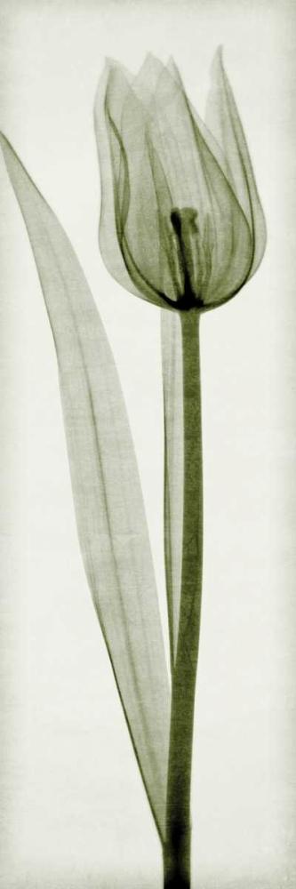 Tulipa I