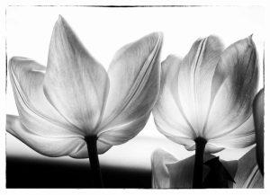 Translucent Tulips V