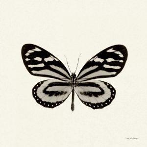 Butterfly VIII BW Crop